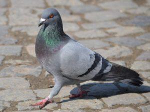 je suis un pigeon